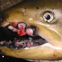 Nem a fukusimai atomerőműtől daganatosak ezek a halak