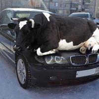Tehén a BMW motorháztetején
