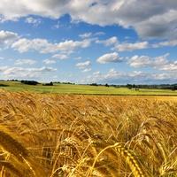 Blogajánló: Critical Biomass - A hagyományos növénytermesz-tés, és a GMO veszélyei