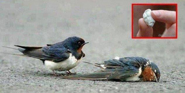 birds_eat_gums_died.jpg
