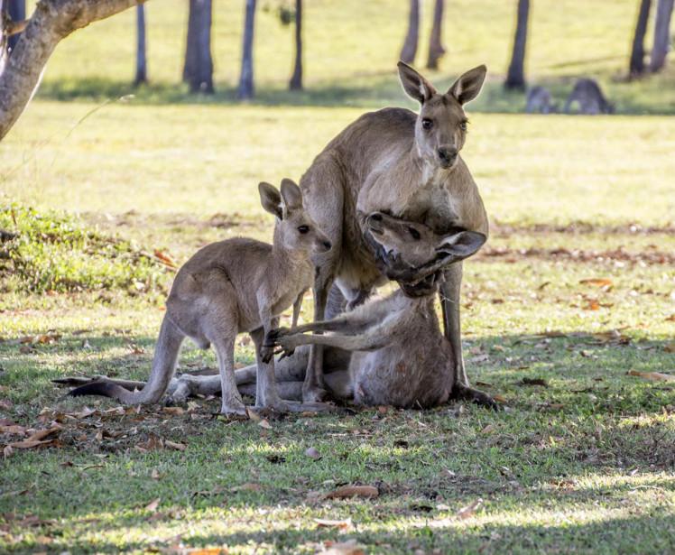 kangaroo_rape_fake.jpg