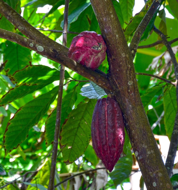 Kakaótermés a fán