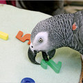Brainy Parrot Dies, Emotive to the End