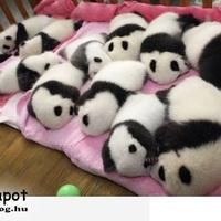Mini pandák :)