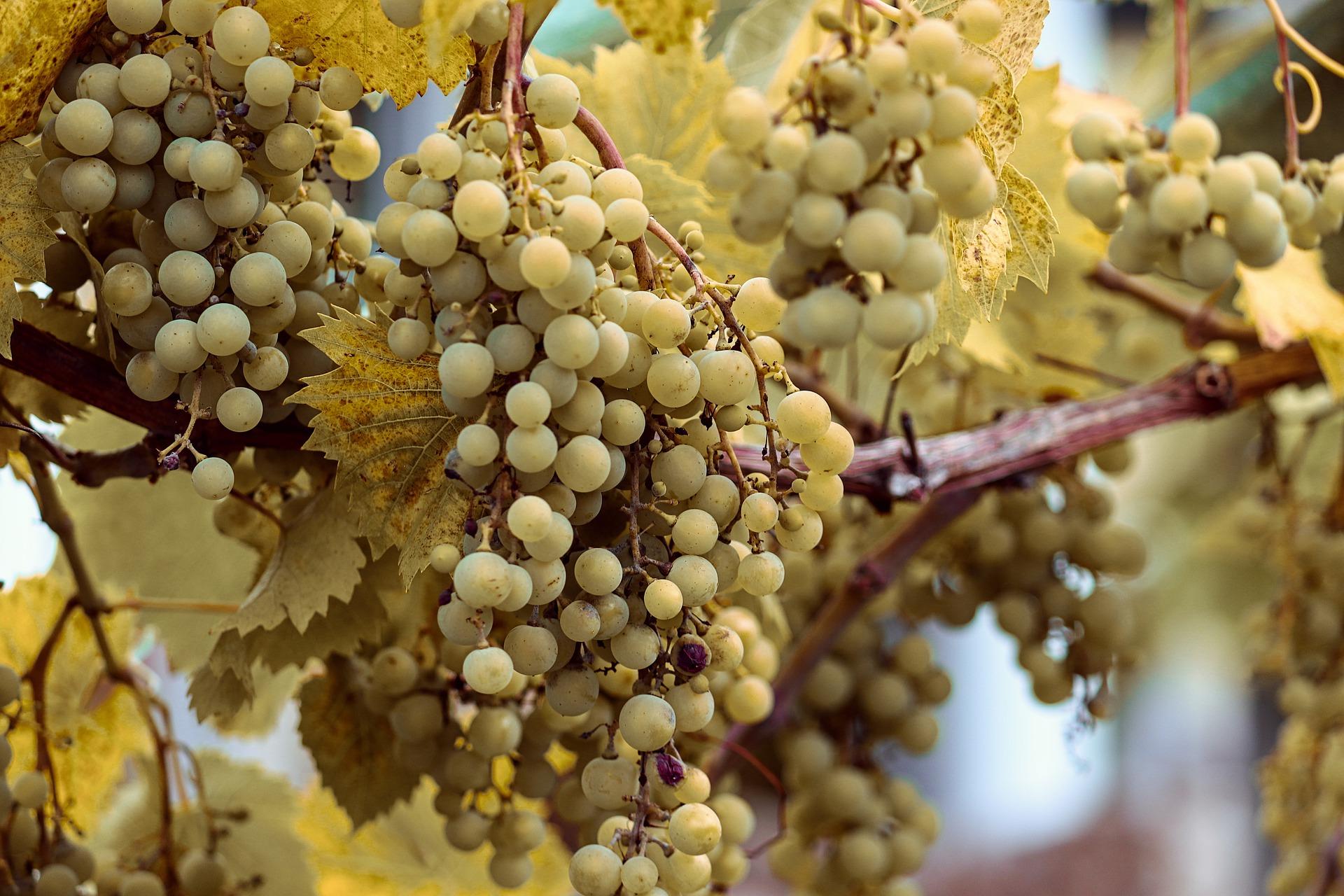 grapes-4421752_1920.jpg