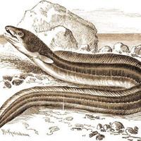 Fura lények a Balatonban: a kígyószerű hal