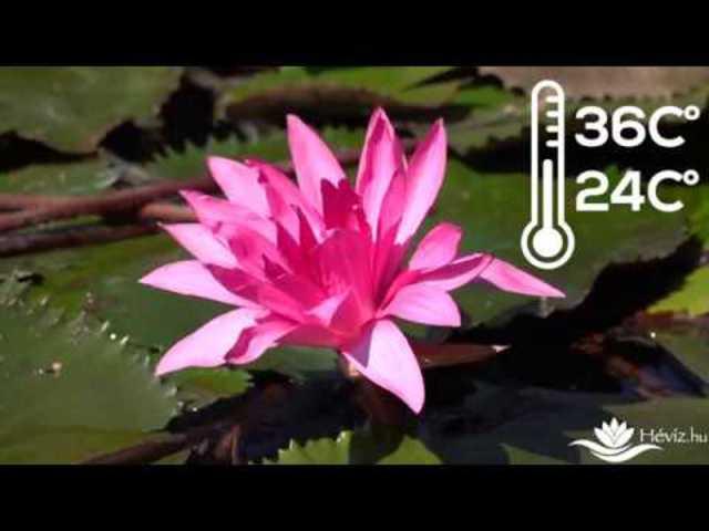 Lotus a hévízi tóban!