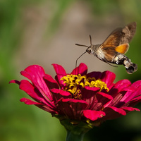 Nyári fotótéma - lepkék, pillangók - válogatás