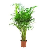 Légtisztító szobanövények (2. rész)