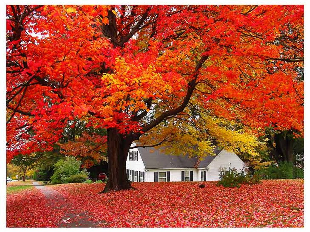 Autumn_Tree_Wallpaper__yvt2.jpg