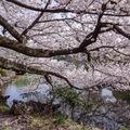 Meseszép cseresznyefa virágzás Tokióban