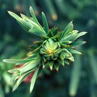 A Wollemia nobilis fotósa [2]*