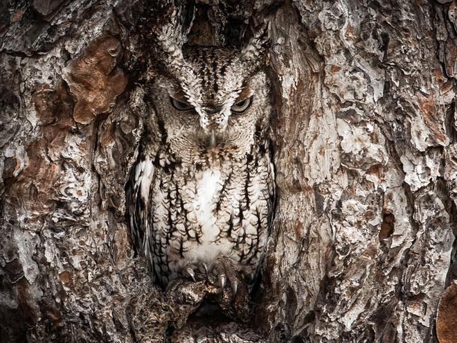 portrait-of-an-eastern-screech-owl.jpg