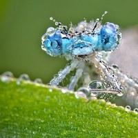 Harmatban fürdő bogarak