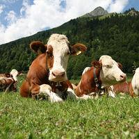 Az etika és a tehenek...