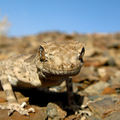 Lizard in Lut desert, close to Yazd-Mashad main road