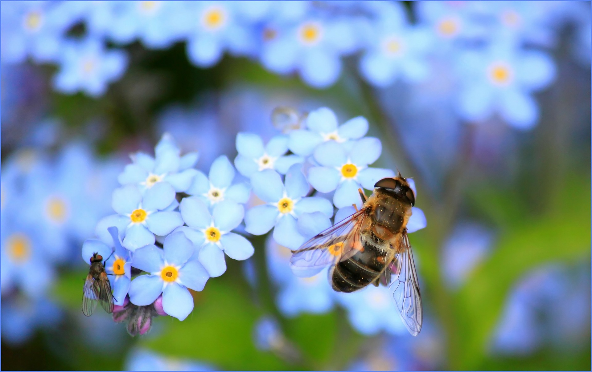 forget-me-not-257176_1920.jpg