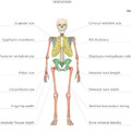 Izraeli kutatók rekonstruálták a gyenyiszovai ember csontvázát