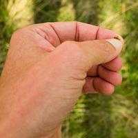 A rohadék kullancslégy