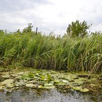 Húsevő növény, bölömbika, tündérrózsa Balatonfenyvesen