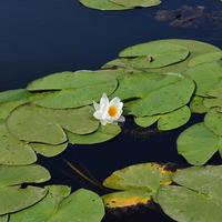 A Tisza-tó 3 legszebb virágú növénye