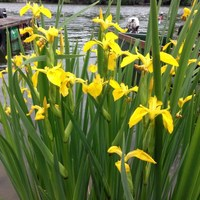 Pompázatos virágok a májusi Tisza-tavon