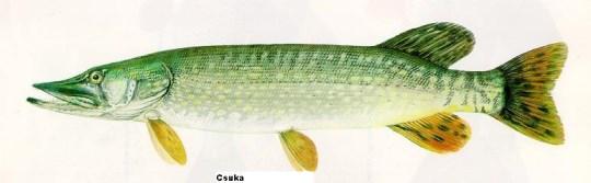 csuka (1) (540 x 167).jpg