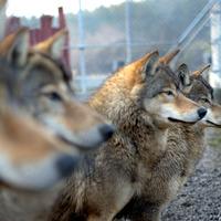 Légy Te is Farkasokkal Kocogó