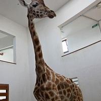 Új zsiráf érkezett a Veszprémi Állatkertbe!