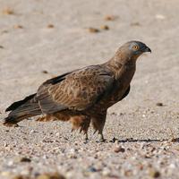 Izland madarai - III. rész - Vágómadárfélék