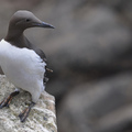Izland madarai - II. rész - Alkafélék