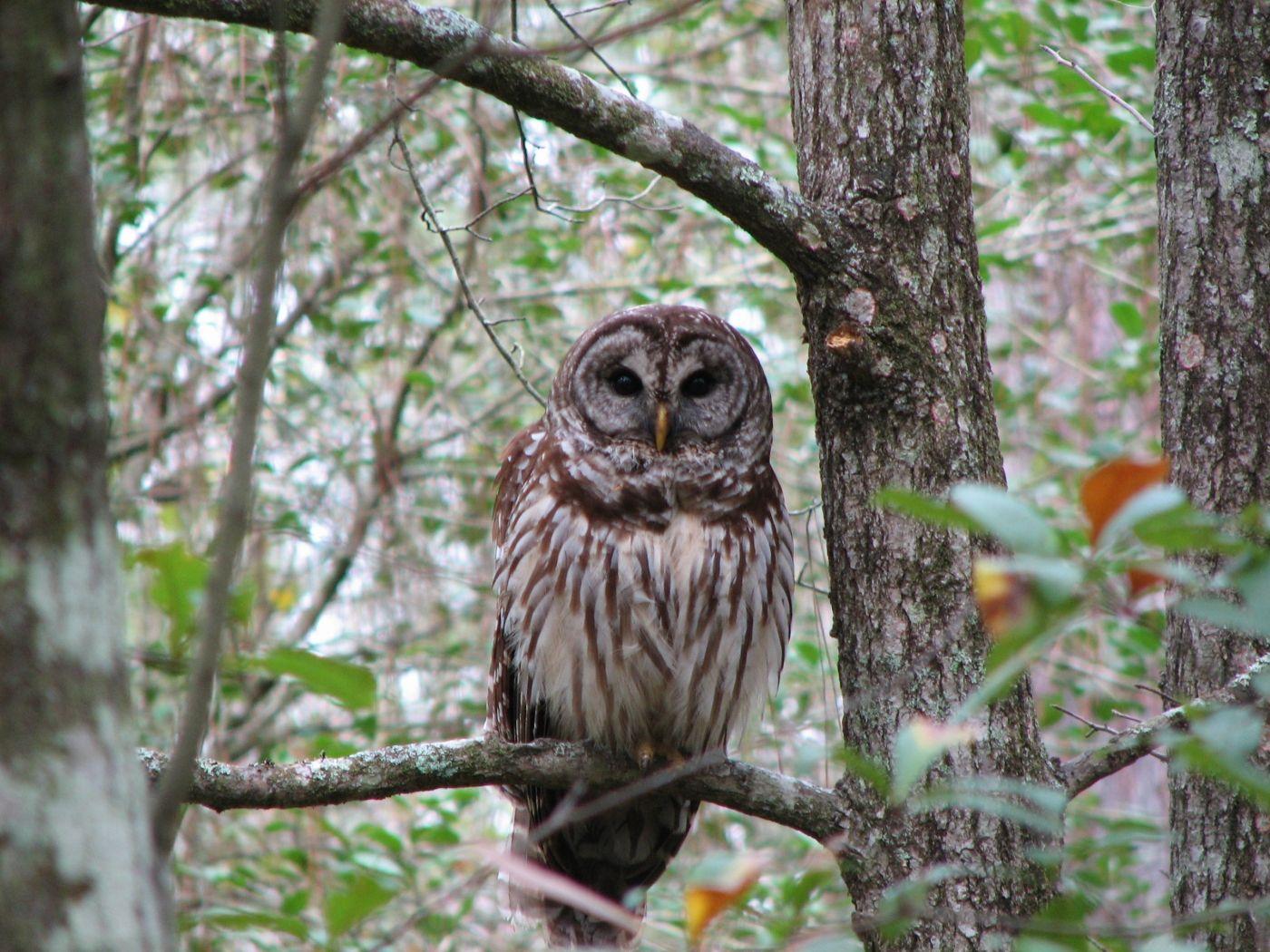 Barred_Owl2_3.jpg