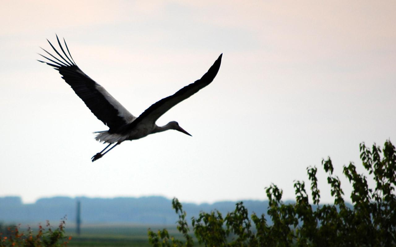 Flying-stork732.jpg