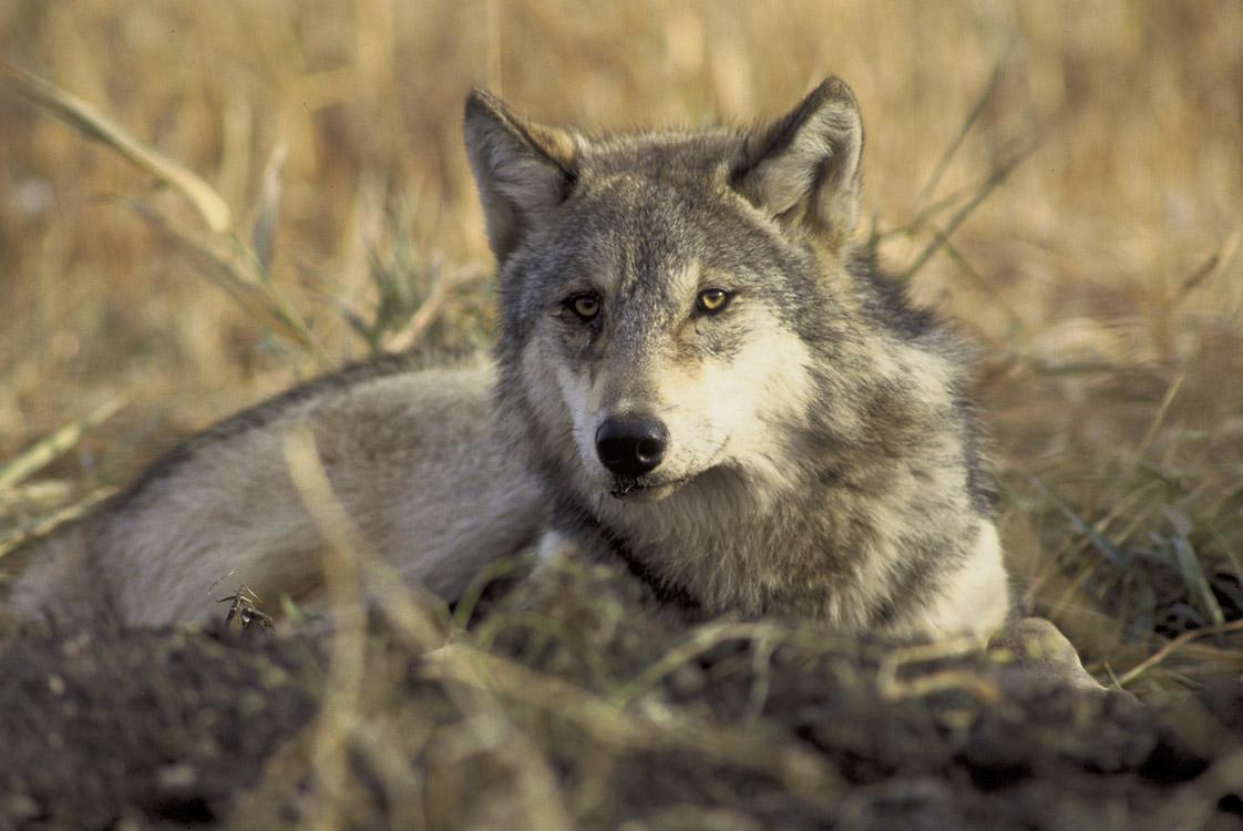 graywolf-by-john-and-karen-hollingsworth-usfws1.jpg