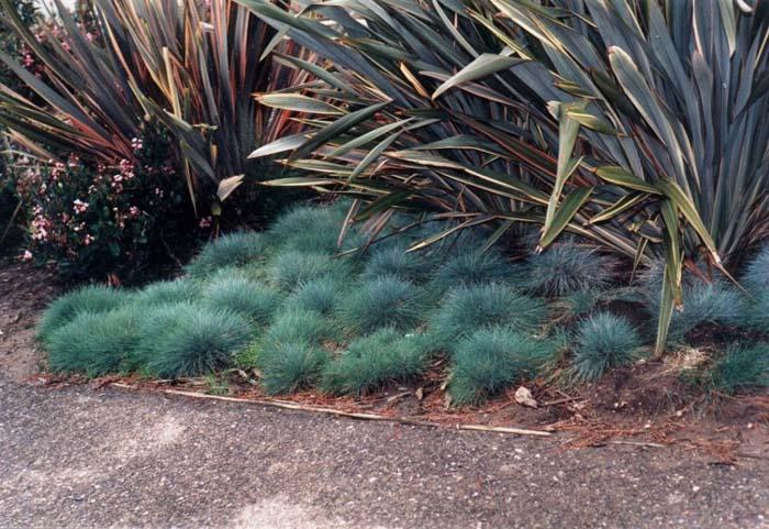 Kék csenkesz<br />Fotó:visalia.watersavingplants.com