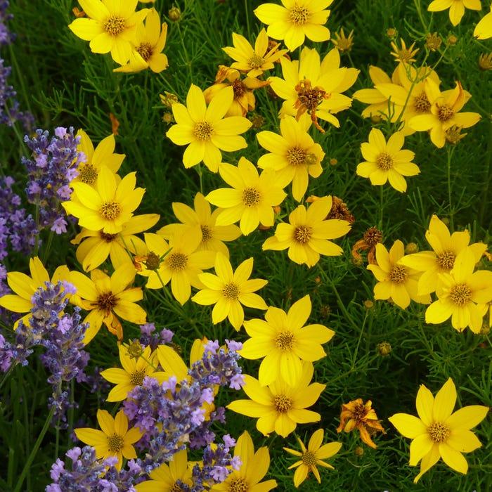 Keskenylevelű menyecskeszem <br />Fotó:highcountrygardens.com