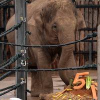 Öt éves lett Asha, az elefántlány