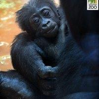Nevet kapott az Állatkert kis gorillakölyke