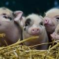 Ledobták a cukiságbombát az Állatkertben: ilyen a hét kis újszülött