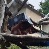 Zseniális, ahogy ez az orángután dacol az időjárással