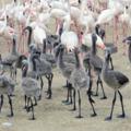 Úgy nőnek a flamingófiókák, mint a bolondgomba