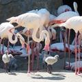 Már 19 flamingóbébi kelt ki, és még nincs vége