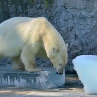 Ez a jeges-legjobb szórakozás a jegesmaciknak