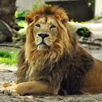 Mókuskám, itt az oroszlánod!