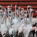 Flamingócsorda foglalta el a lovardát