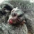 Ennél cukibb már nem lesz: éji majom kölyök született!