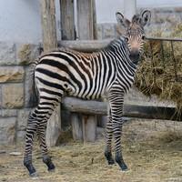 Le sem tagadhatná nevét a zebracsikó
