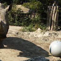 A fociláz elérte az állatkertet is: labdazsonglőr orrszarvú és szurikáták