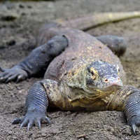 Pisztrángrajongó sárkány az állatkertben