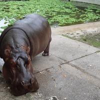 Egy híján 40 víziló született a budapesti állatkertben...